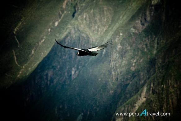 Condor -  Peru A Travel.jpg